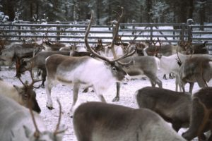 Connected reindeer pave the way for improved herders' lives